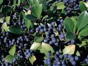 Semillas  exóticas de  Arandano azul