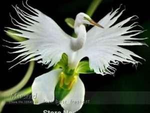 Semillas exóticas de orquídea Habenaria radiata con forma de garza