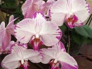 Semillas  exóticas de orquídeas mariposa Phalaenopsis