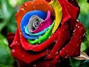 Semillas Exóticas De Rosas Multicolor
