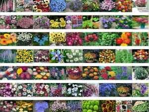 Semillas  exóticas de flores mixtas de jardín