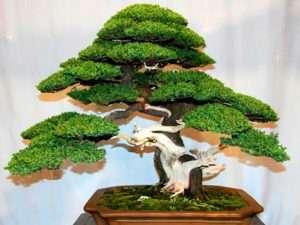 Semillas  exóticas de Arbol Bonsai