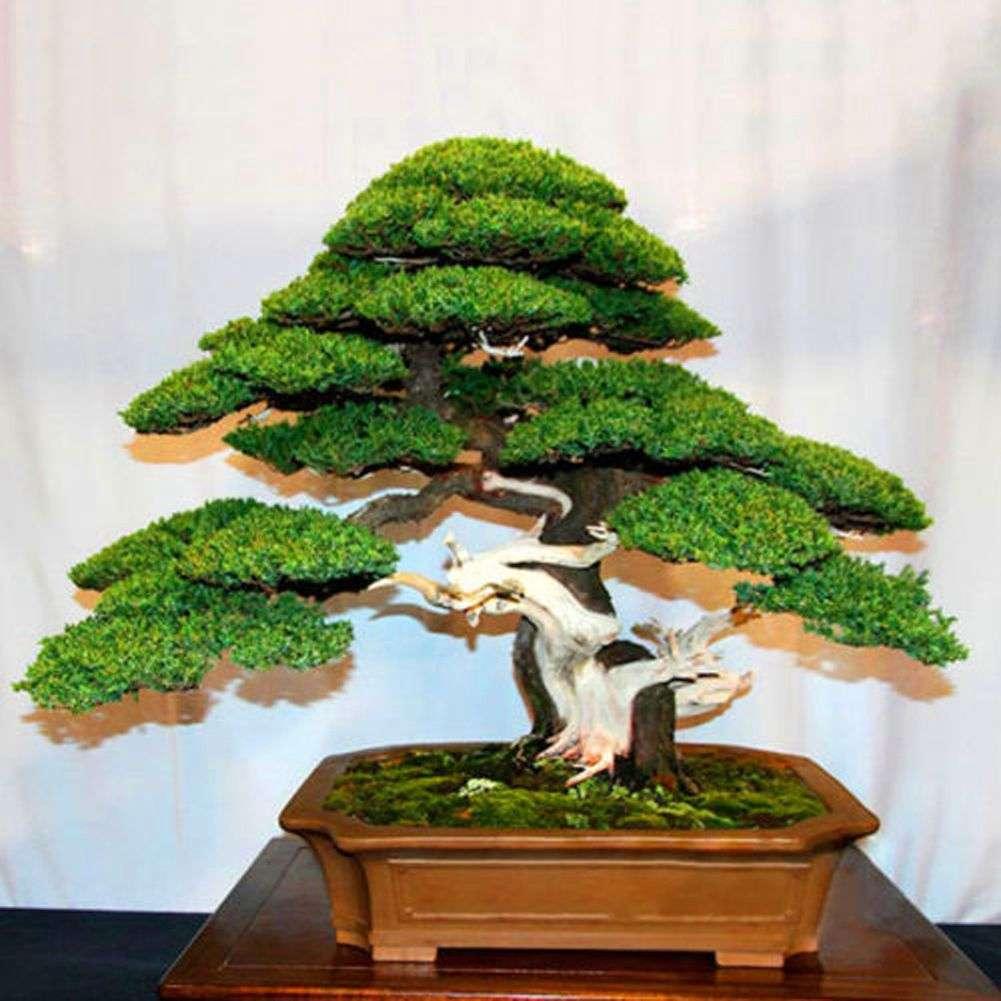 Semillas Exoticas De Arbol Bonsai Greenforest Tienda Forestal