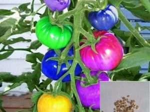 Semillas  exóticas de Tomates de colores