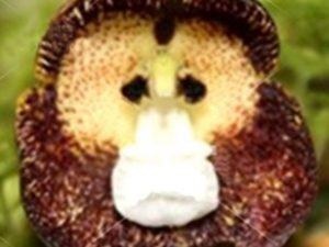 Semillas  exóticas de Flores de orquídea con forma de monos