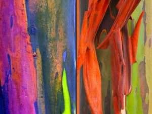 Semillas  exóticas de Eucalipto Arcoiris
