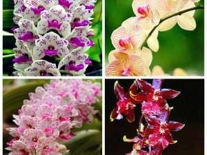 Mezcla  exóticas de semillas de orquídeas Cymbidiums Africanas exóticas y extrañas