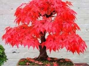 Semillas  exóticas de árbol de bonsái Extraños