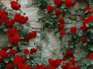 Semillas  exóticas de Rosas Rojas de Enredadera