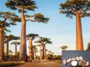 semillas exóticas de Árbol Baobab