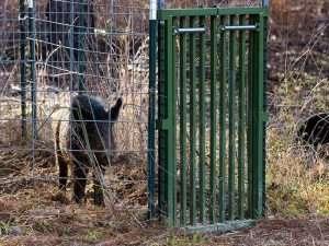 Trampa con Puerta de cierre instantáneo para capturar cerdos salvajes