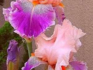 Semilla Orquídea Iris rosada