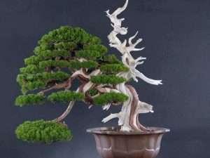 Semilla de bonsai Cedro Cryptomeria japonica