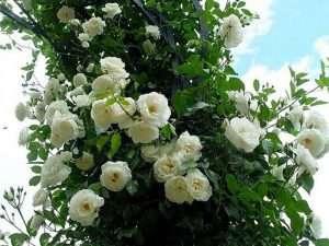Semillas De Rosa Blanca Enredadera