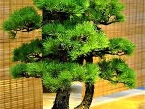 Semillas de Pino Japonés Bonsai