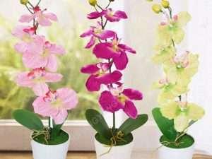 Semillas De Mini Orquídea Phalaenopsis