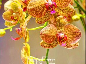 Semillas De Phalaenopsis Peennes