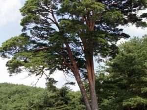 Semillas de pino rojo japonés