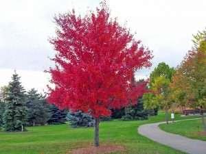 Semilla de Arce rojo (Acer rubrum)